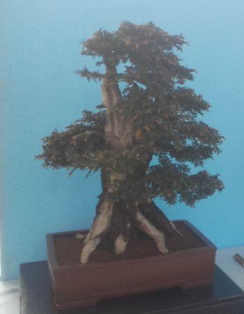 Ayrshire Bonsai Group